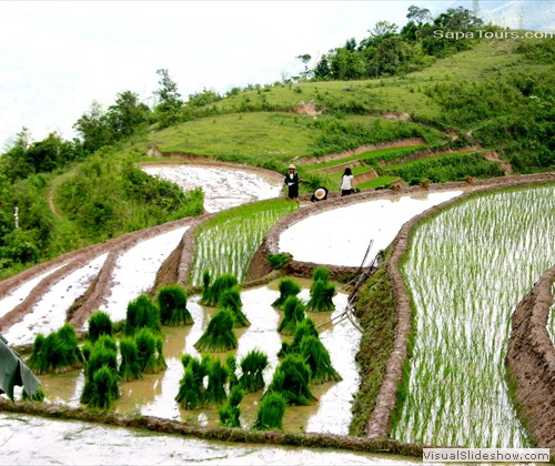 Green-rice-terrace-sapatoursdotcom