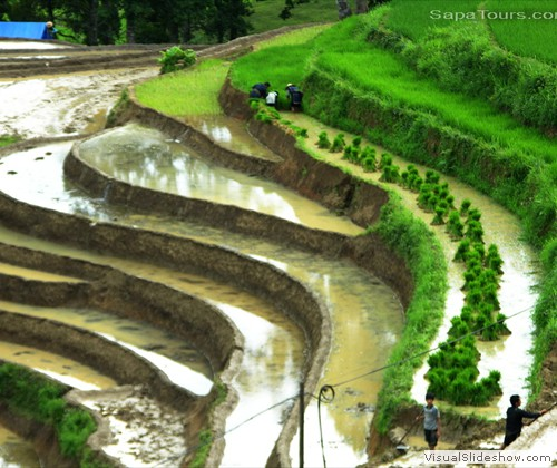 Green-rice-terrace-sapa-vietnam