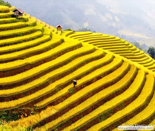 Sapa-Terraced-Rice-havest-season-sapatoursdotcom
